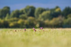 Os botões e as flores do cardo em um verão colocam As flores do cardo são o símbolo de Escócia imagens de stock