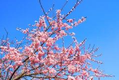 Os botões e as inflorescência de flores bonitas da flor e da flor da árvore de sakura ou de cereja durante a mola que floresce co fotografia de stock