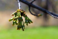 Os botões frescos penduram fora de uma árvore no Midwest América Fotos de Stock