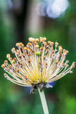 Os botões macios da flor nos fundos verdes Fim acima Fotografia de Stock Royalty Free