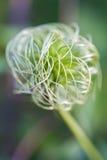 Os botões macios da flor nos fundos verdes Fim acima Foto de Stock Royalty Free