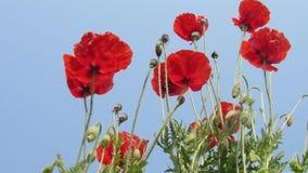 os botões vermelhos do jardim do grupo da flor da papoila com o céu azul bonito nublam-se Fotografia de Stock
