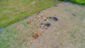 Os Bovídeos sofrem da seca nos campos imagens de stock