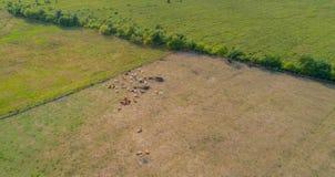Os Bovídeos sofrem da seca nos campos em Germnay imagens de stock royalty free
