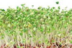 Os brócolos verdes novos brotam para saladas e pratos saudáveis Fotografia de Stock