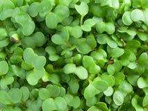 Os bróculos sprouts o macro Fotografia de Stock Royalty Free