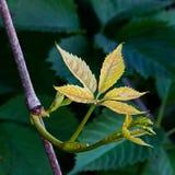 Os brotos de uvas novas no jardim Imagens de Stock