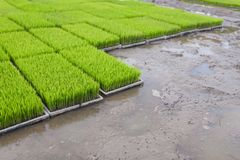 Os brotos novos do arroz preparam-se para plantar em um campo de almofada em Tailândia imagens de stock