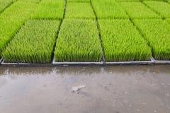 Os brotos novos do arroz preparam-se para plantar em um campo de almofada em Tailândia foto de stock royalty free