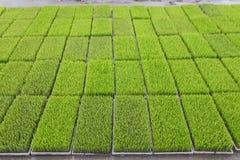 Os brotos novos do arroz preparam-se para plantar em um campo de almofada em Tailândia imagem de stock royalty free