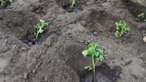 Os brotos novos dos tomates são jogados na terra e molharam a terra gota a gota Colheita do tomate, e cultivo da planta video estoque