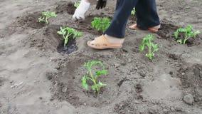 Os brotos novos dos tomates são jogados na terra e molharam a terra gota a gota Colheita do tomate, e cultivo da planta vídeos de arquivo