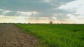 Os brotos verdes do trigo colocam e terra arável no campo cultivado agrícola, filme