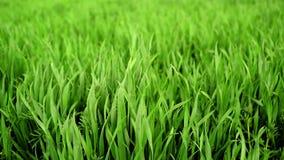 Os brotos verdes do trigo colocam perto acima no campo cultivado agrícola filme