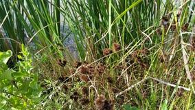 Os bulbos da erva daninha de Brown aproximam a água fotos de stock royalty free