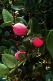 Os bulbos de Natal Plum, igualmente nomeiam o Carissa planta grandiflora imagens de stock royalty free