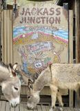 Os Burros selvagens levantam em um sinal, Oatman, o Arizona Imagem de Stock Royalty Free