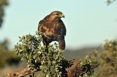 Os Buzzards empoleiraram-se Foto de Stock Royalty Free