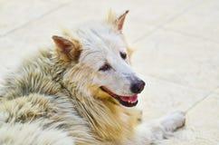 Os cães brancos estão procurando Fotografia de Stock
