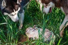 Os cães cercaram o gato amedrontado Gatos e cães da inimizade do conceito O cão de puxar trenós dois atacou um gato crepitante qu Imagens de Stock