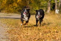 Os cães correm rapidamente Fotografia de Stock Royalty Free