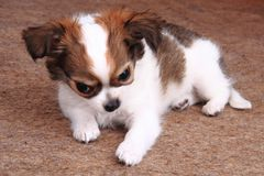 Os cães da chihuahua estão descansando Imagem de Stock