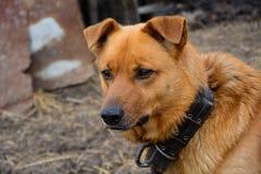 Os cães da rua Guarda da vila olhando o caçador Fotos de Stock Royalty Free