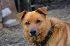 Os cães da rua Guarda da vila olhando o caçador Fotografia de Stock Royalty Free