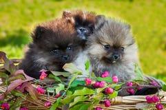 Os cães de Pomeranian estão sentando-se na cesta Fotos de Stock Royalty Free