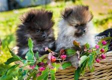 Os cães de Pomeranian estão sentando-se na cesta Foto de Stock