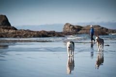 Os cães de puxar trenós perseguem a tomada de uma caminhada com uma mulher Imagens de Stock