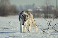 Os cães de puxar trenós Siberian perseguem o cachorrinho que espirra a grama seca do inverno Imagem de Stock Royalty Free