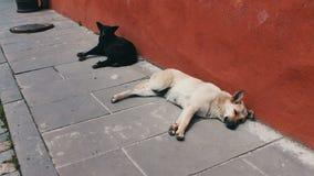 Os cães dispersos preto e branco encontram-se no passeio da rua, da cidade Sighnaghi, Geórgia vídeos de arquivo