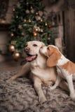 Os cães estão beijando em casa a atmosfera festiva à moda foto de stock