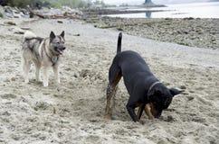 Os cães estavam jogando fotografia de stock royalty free