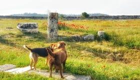 Os cães expressam a afeição no prado e nas flores vermelhas no caminho para visitar Pamukkale em Izmir Fotos de Stock