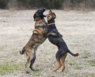 Os cães jogam áspero na jarda, parecem cantar imagem de stock royalty free