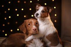 Os cães Nova Scotia Duck Tolling Retriever e Jack Russell Terrier Christmas temperam 2017, ano novo Fotos de Stock