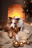 Os cães Nova Scotia Duck Tolling Retriever e Jack Russell Terrier Christmas temperam 2017, ano novo Fotografia de Stock