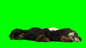 Os cães pequenos que dormem sobre greenscreen filme