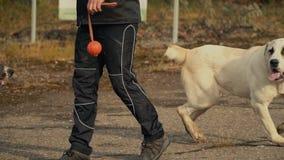 Os cães produzem o redemoinho de Alabai em torno do proprietário video estoque