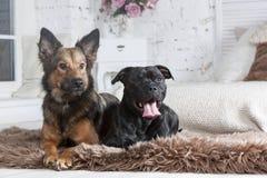 Os cães são lyings no sofá fotografia de stock