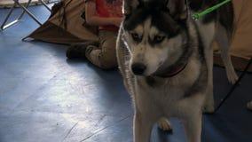 Os cães saltaram acima agudamente em suas patas e fixaram seus olhos na distância video estoque