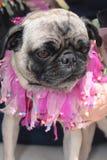 Os cães vestiram-se acima no quarto de julho Imagens de Stock Royalty Free