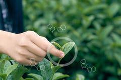 Os círculos de Infographics e as estruturas moleculars a mulher asiática entregam pegarar as folhas de chá da plantação de chá, á imagem de stock royalty free