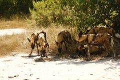 Os caçadores africanos finais o cão selvagem imagem de stock