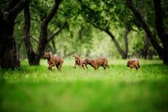 Os cachorrinhos adoráveis de Rhodesian Ridgeback têm o divertimento no jardim fotografia de stock royalty free