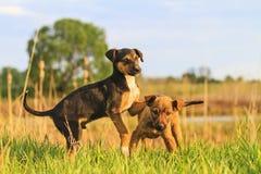 Os cachorrinhos bonitos são jogados na grama verde Imagens de Stock Royalty Free