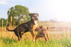 Os cachorrinhos bonitos são jogados na grama verde com ponto quente ensolarado Fotografia de Stock Royalty Free