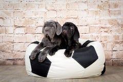 Os cachorrinhos cinzentos, pretos e marrons produzem Neapolitana Mastino Alimentadores de cão que treinam cães desde a infância fotografia de stock royalty free